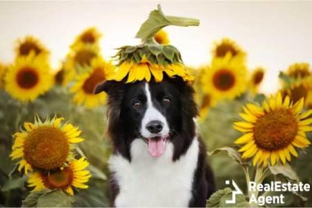 Border Collie in sunflower field
