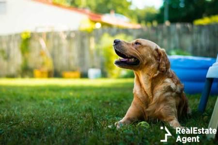 Labrador Retriever relaxing in grass