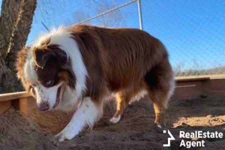 Purebred miniature Australian Shepherd dog