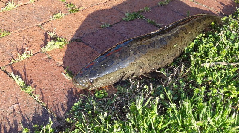 Virginia Snakehead Fish