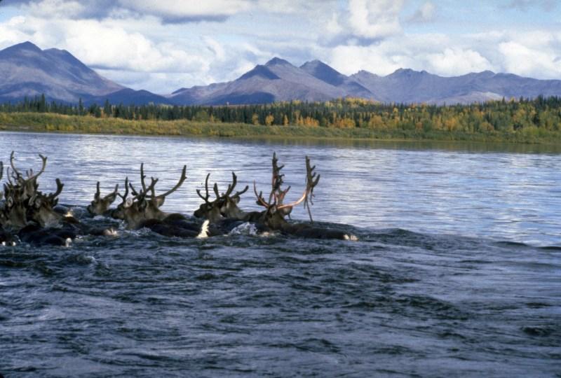 Kobuk River Caribou, Alaska