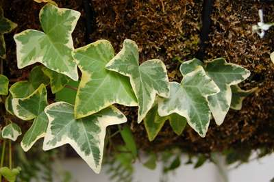 Hedera_helix_Leaves_3008px