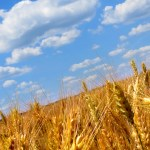 Wheat Fields with blue skies.