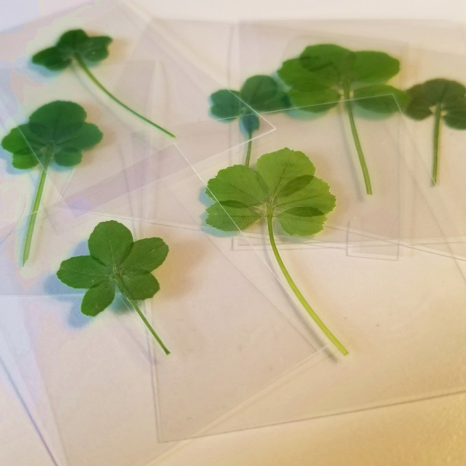 Lucky Five Leaf Clover Real Four