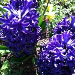 I chose hyacinth for it's color, fragrance and star shaped flower.