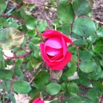 Roses have long been associated with Mary.