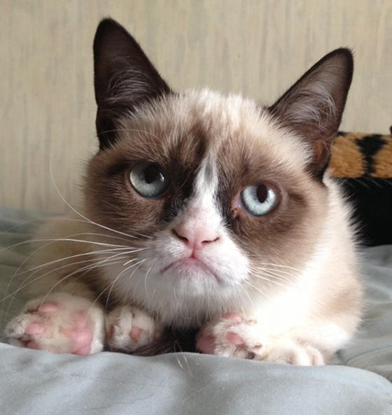 cute grumpy the cat