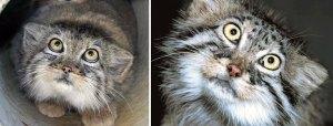 Expressive Manul Cat