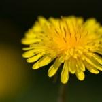Dandelion heals liver diseases