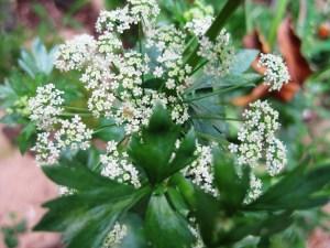 celery seed Alzheimer's