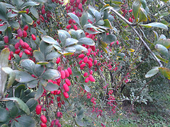 barberry treats parasites
