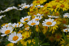 chamomile for anxiety and depression