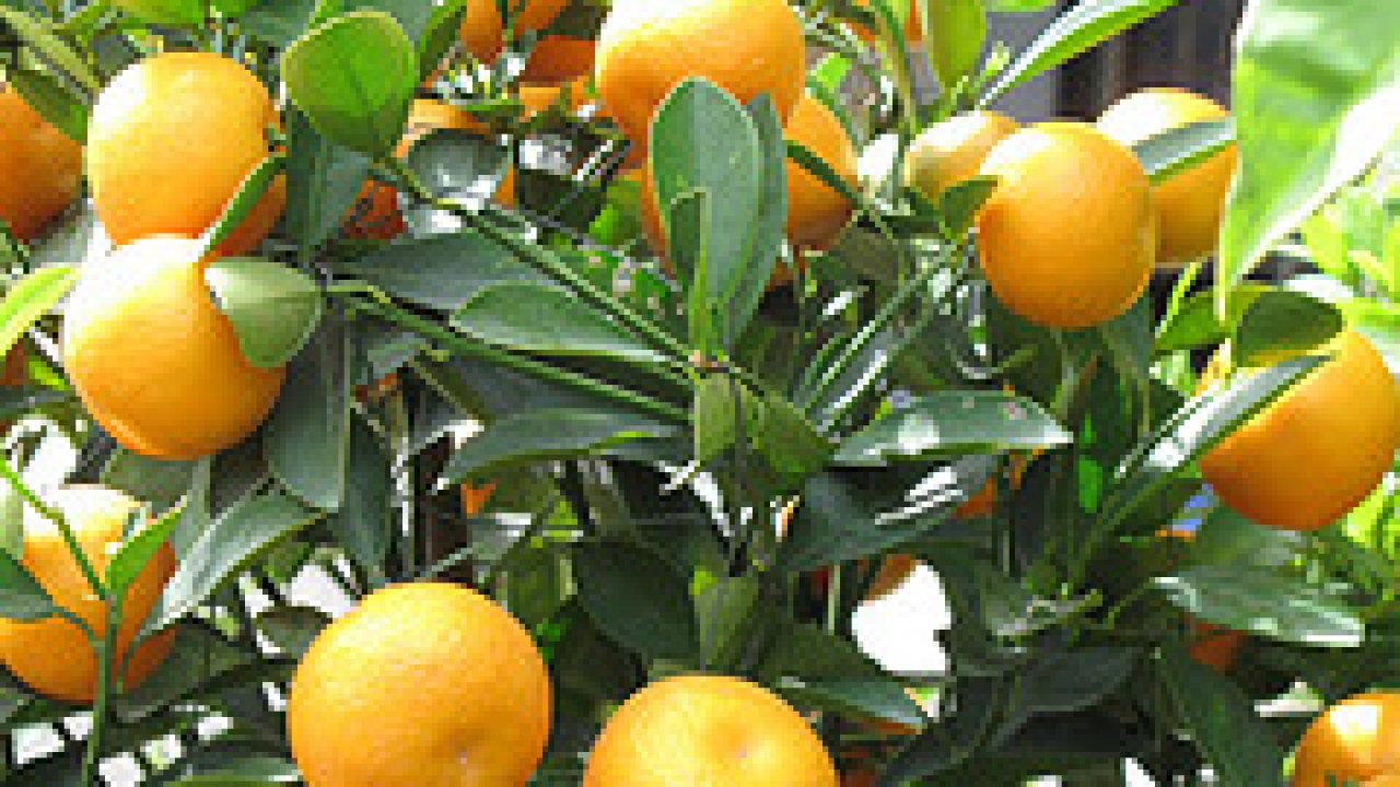 Nobiletin from Citrus Fights Cancer, Heals Liver, Heart