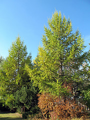 Larch tree prevents respiratory infections