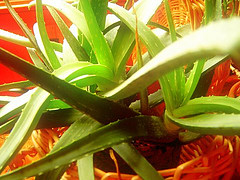 decade of aloe vera medical researdch