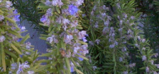 rosemary boosts memory and may prevent Alzheimer's
