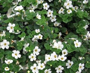 bacopa for memory