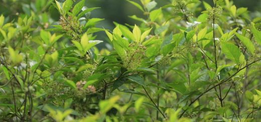 Ampelopsis japonica halts breast cancer
