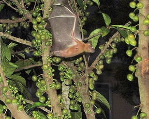 fruit bats and bush meats harbor ebola