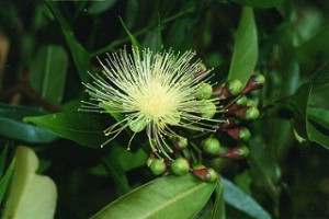cloves potent anticancer agent against several cancers