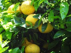 citrus peels inhibit bacteria