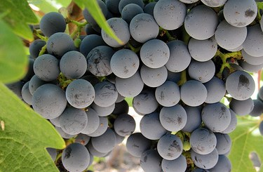 purple grapes boost memory