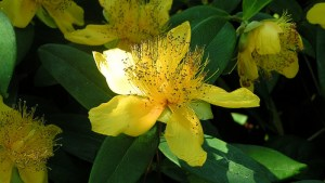 st johns wort treats depression and mood disorders