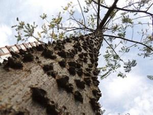 African tree bark treats malaria and kills mosquitoes