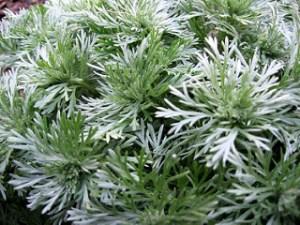 Artemisia annua доказва, че инхибира растежа на рака
