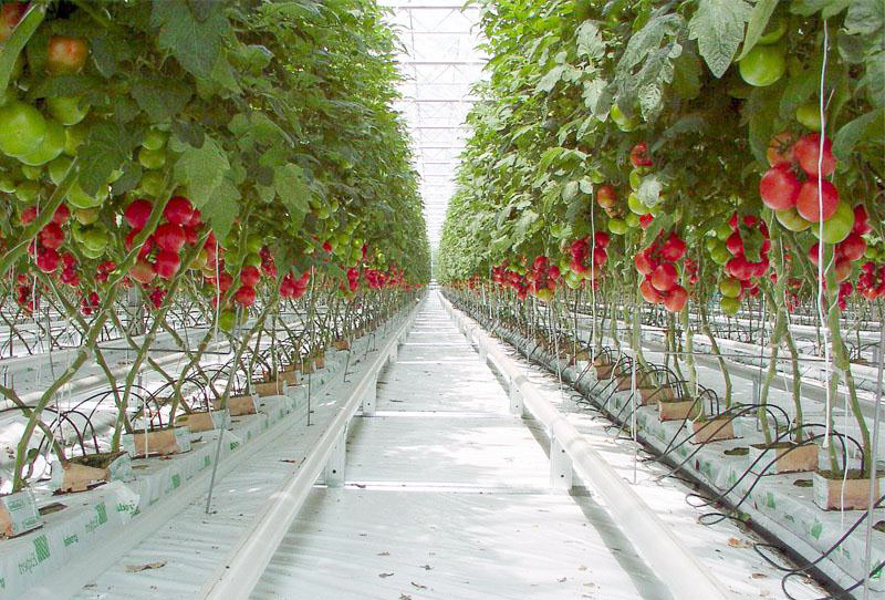 Wholesum Harvest tomatoes growing hydroponically in an artifical indoor environment