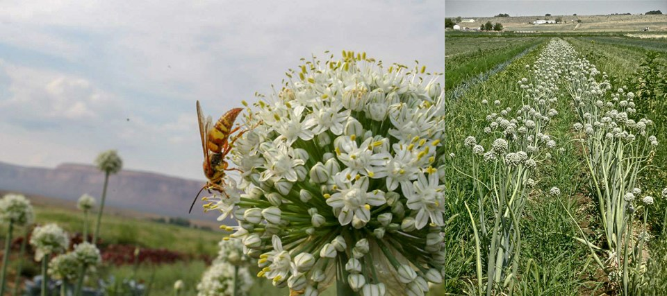 Pollinator on allium and tidy rows of garlic at Hobb and Meyers Farm Colorado