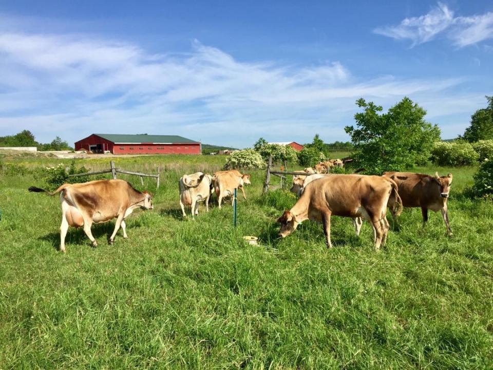 Cows on pasture at the Milkhouse Dairy Farm and Creamery in Monmouth Maine