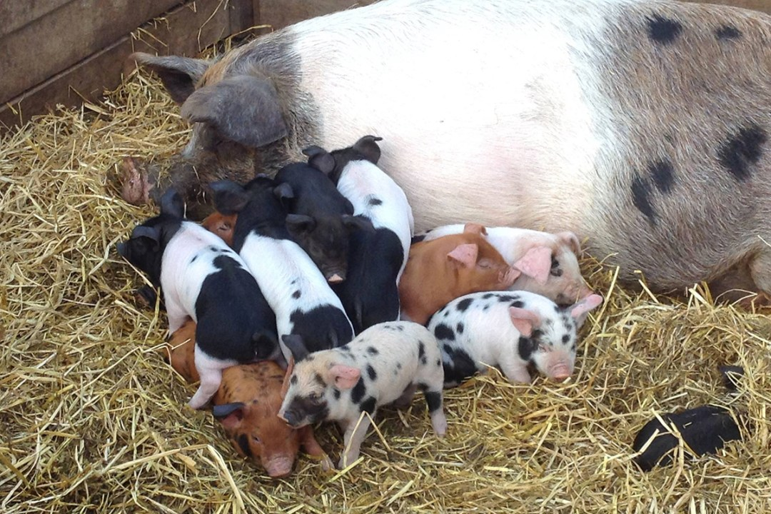 A new generation of piglets huddles with their mother