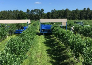 Real Organic certifed Farm growing blueberries in soil