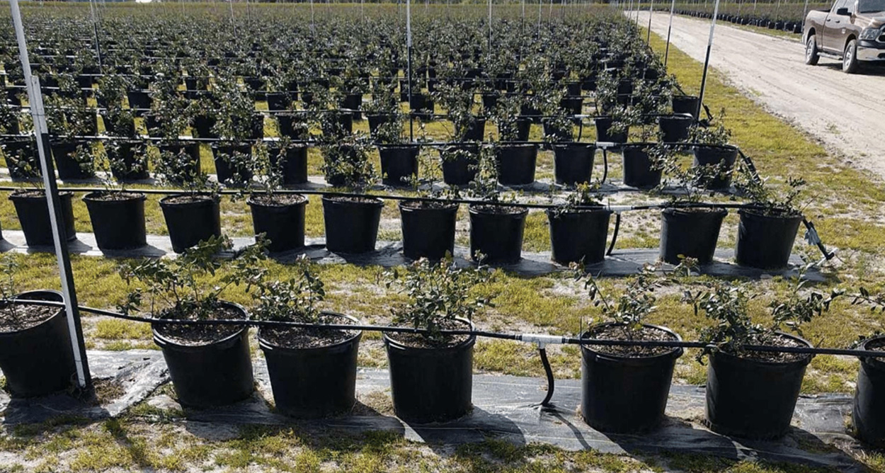 hydroponic-blueberries-grown-over-plastic-barrier-sprayed-with-herbicides