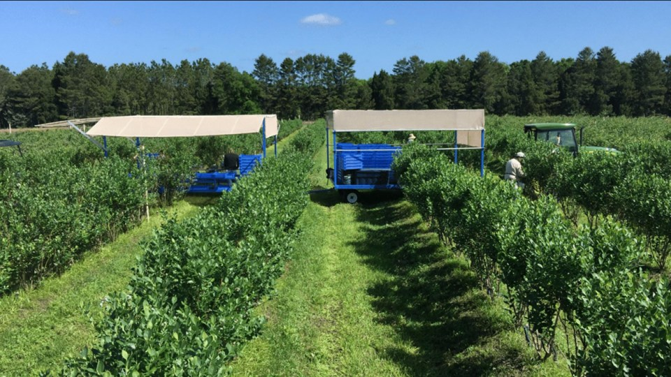 Real Organic Project Pilot Farm growing blueberries in soil