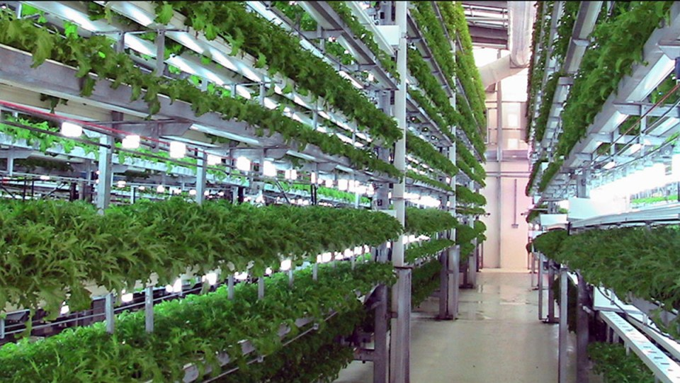 greens being grown hydroponically in an artificial indoor environment