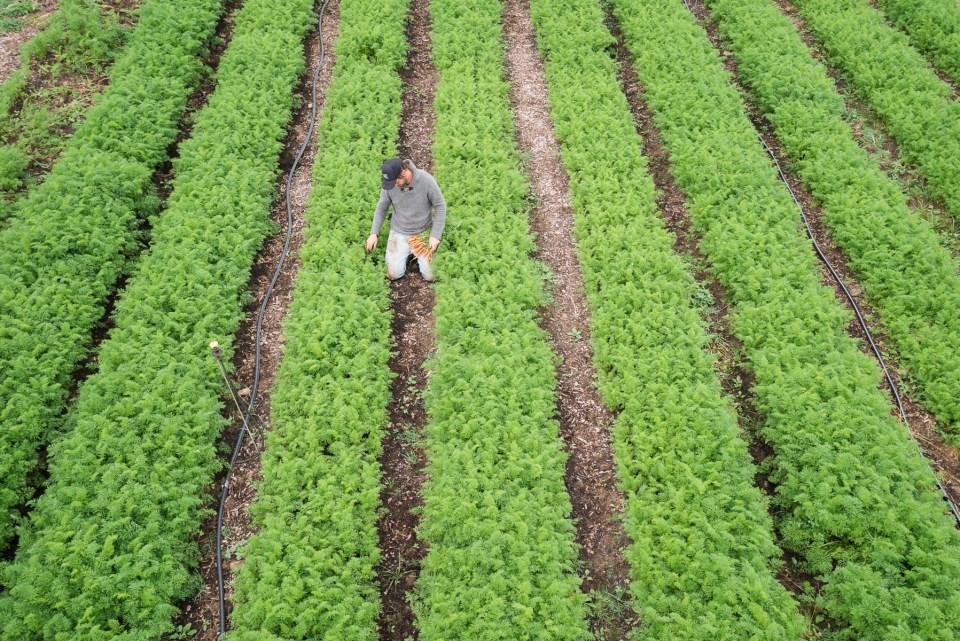 JM walks among lush rows of carrots