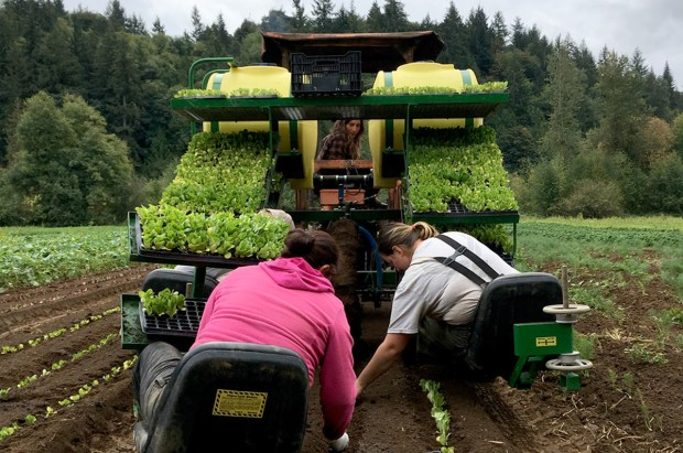 Farm workers use a planting machine to transplant greens