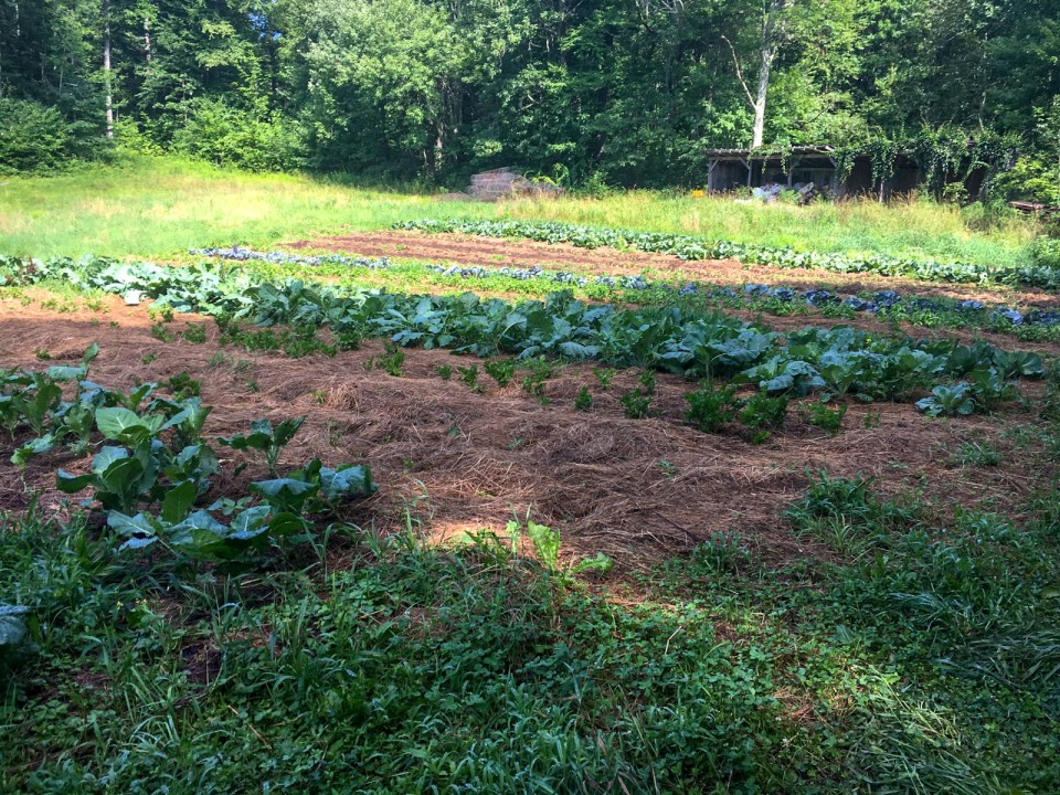 Field crops grow with heavy organic mulch between rows at Many Hands Farm Massachusetts