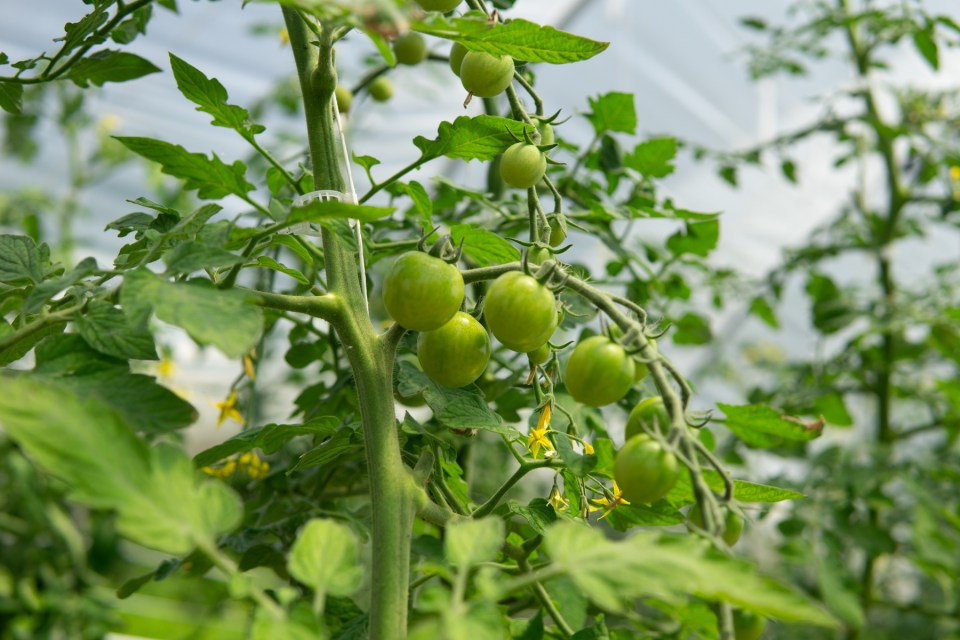 young tomatoes maturing on the vine in a high tunnel