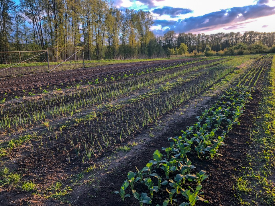 rows of crops growing in soil in Everson Washington