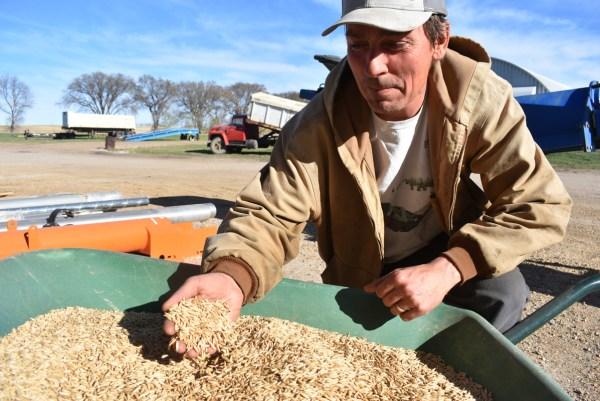stuart macmillan inspects grain at legend organic farm