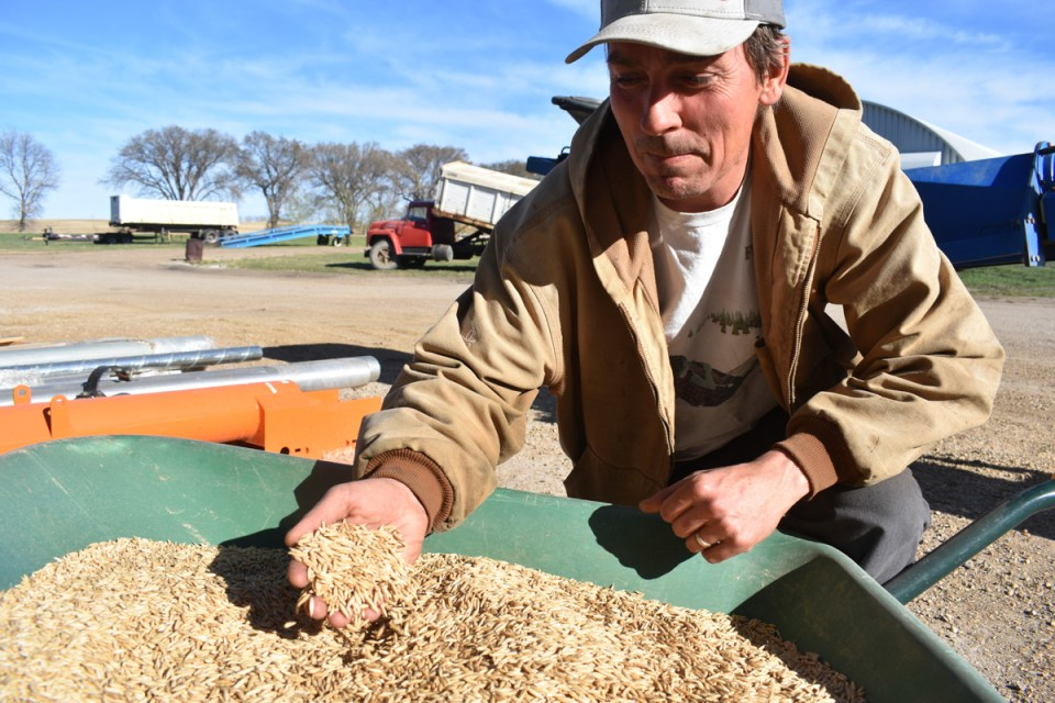 stuart macmillan inspects grain at legend organic farm
