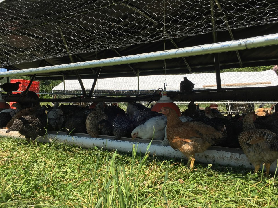 chickens on pasture at Hawthorne Valley Farm New York