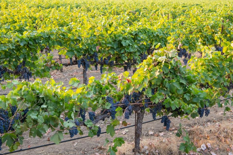 Organic zinfandel grapes