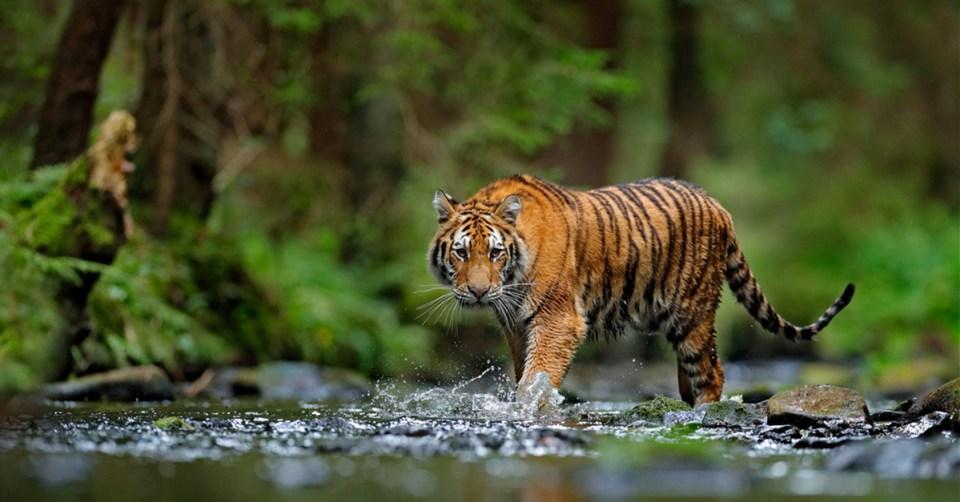 prowling tiger crosses stream