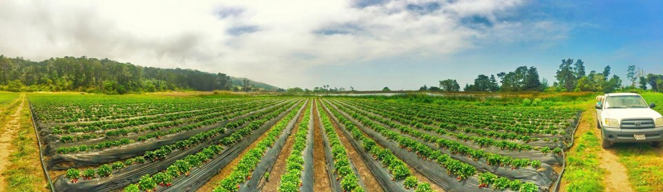 Swanton Berry Farm Fields