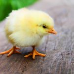 Chickens Make Great Pets: Here's Why
