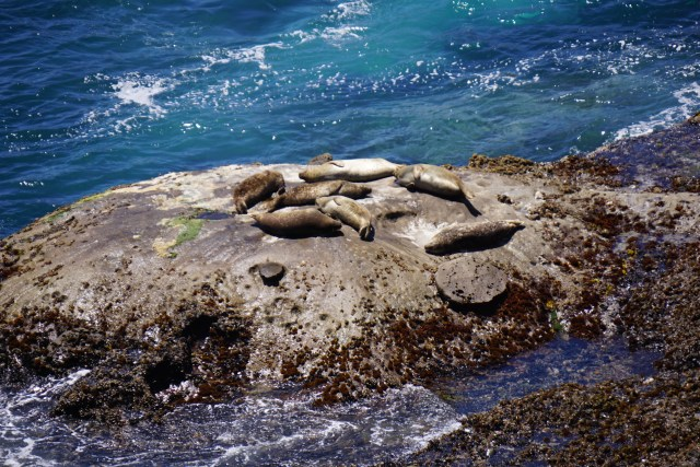 PointLobos_SeaLions3